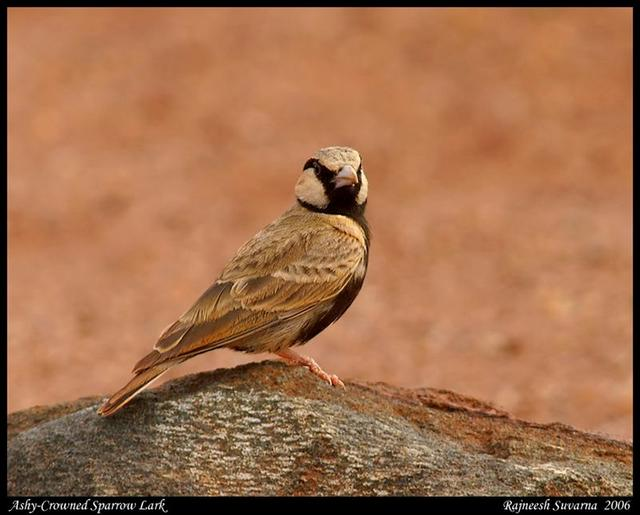 Ashy Crowned Sparrow Lark,