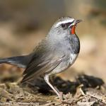 WhiteTailed Rubythroat