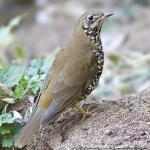PlainBacked Thrush