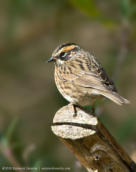 RufousBreasted Accentor