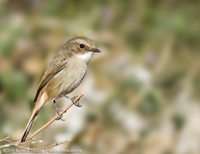 Grey Bushchat, Female