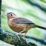 BrownCapped babbler