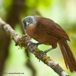 Grey-headed Laughingthrush