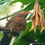 Babbler,OrangeBilled-3526_fcw