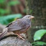 YellowBilled Babbler