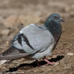Pigeon,Hill 0996_fcw