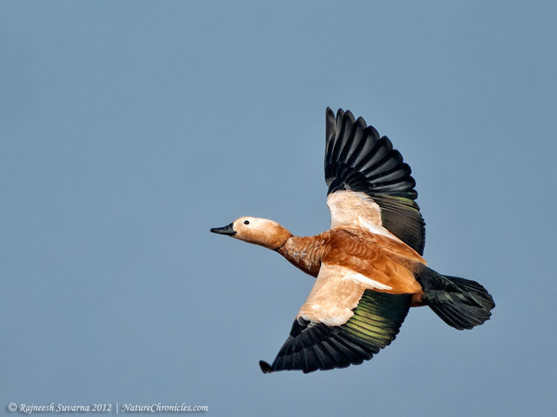 Shelduck,Ruddy-9167_fcw