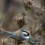 Fulvetta,WhiteBrowed 7663_fcw