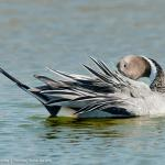Pintail,Northern-5790_fcw2
