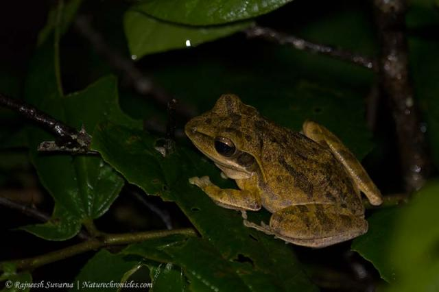 Common Indian Tree Frog (Polypedates maculatus)