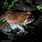 Frog,IndianBurrowing-Sphaerotheca-breviceps-0527_fcw