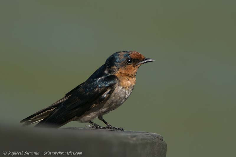 Swallow,Pacific-2258_fcw