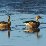 Duck,FulvousWhistling-9934_fcw