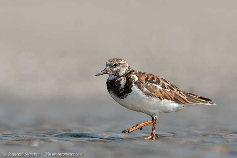 Turnstone,Ruddy-2000_fcw
