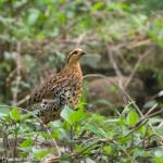 Partridge,BambooHill-6300_fcw