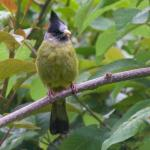 Finchbill,Crested-6017_fcw