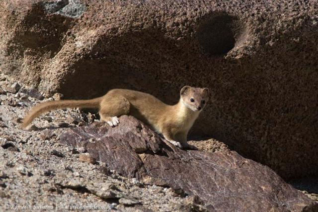 Weasel,Mountain-6817_fcw