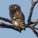Owlet,Forest-8616_fcw