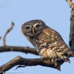 Owlet,Forest-8664_fcw