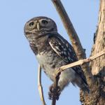 Owlet,Forest-8816_fcw