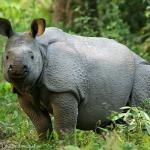 One-Horned Indian Rhino calf