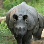 One-Horned Indian Rhino