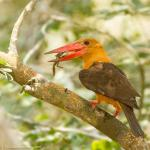 BrownWinged Kingfisher