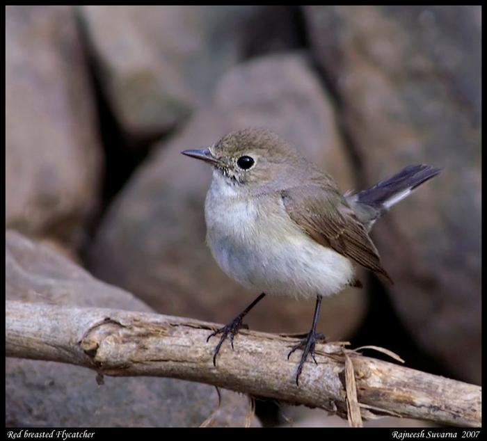 RedThroated Flycatcher