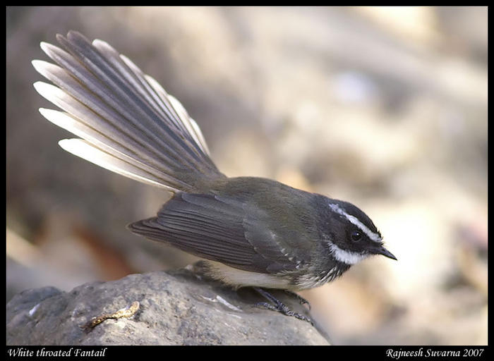WhiteBrowed Fantail