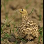ChestnutBellied Sandgrouse