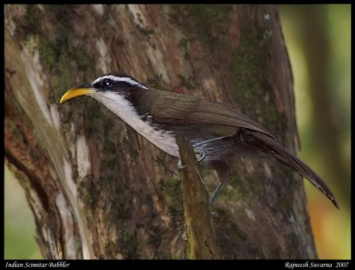 Indian ScimitarBabbler