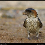 RedRumped Swallow