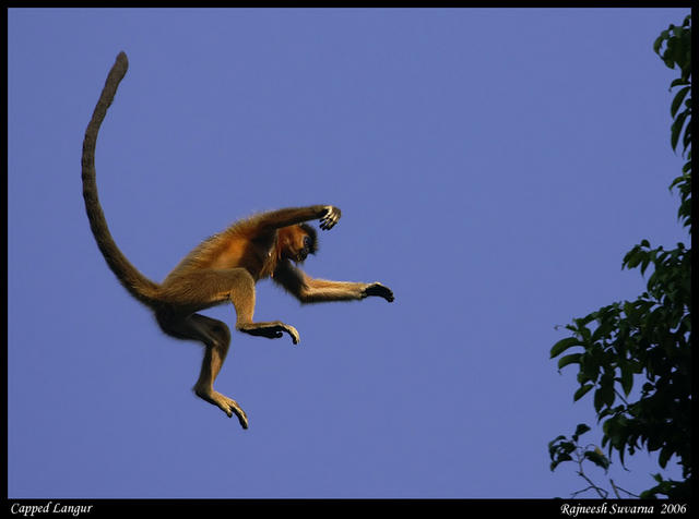 wild animals of capped langur monkey habitat
