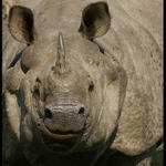 One-horned Indian Rhinoceros