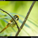 BlackThroated Parrotbill