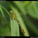 Common OarTail