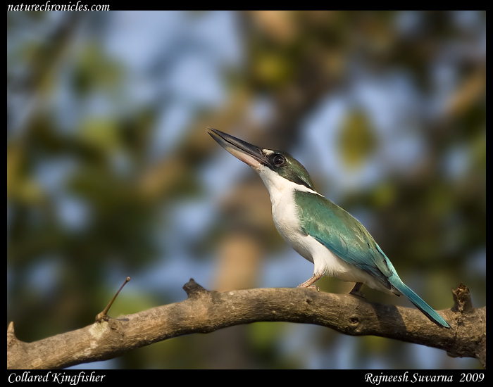 Collared Kingfisher,