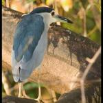 BlackCrownedNight Heron