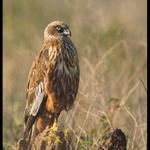 EurasianMarsh Harrier